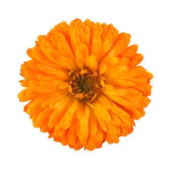 marigold-flower_aksamitka_tagedes_calivita_sklepzdrowia