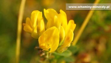 boska-trawa-X  Siegesbeckia orientalis X  boska trawa X  ziołolecznictwo X  vein care calivita X  boska trawa zastosowanie X  boska trawa właściwości