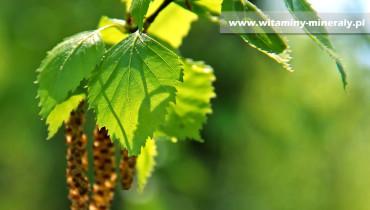 brzoza-betulina-kwas betulinowy-willow